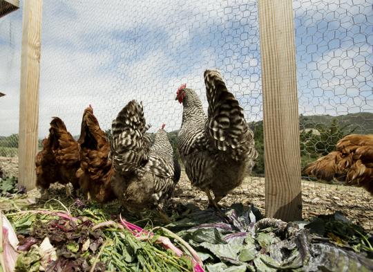 Carmel Valley Ranch_Activities_Chicken_chicken chat in organic garden