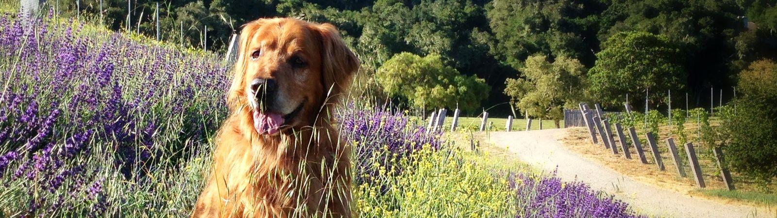 Carmel Valley Ranch_Pets_dog in lavender field