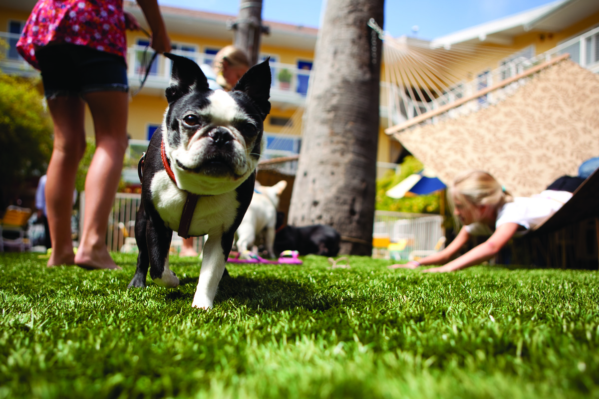 French Bulldogs in Hotel del Sol Courtyard