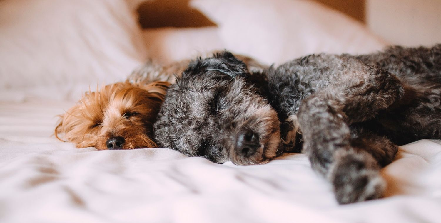 Hotel Revival_Pet Friendly_Image of two dogs on bed
